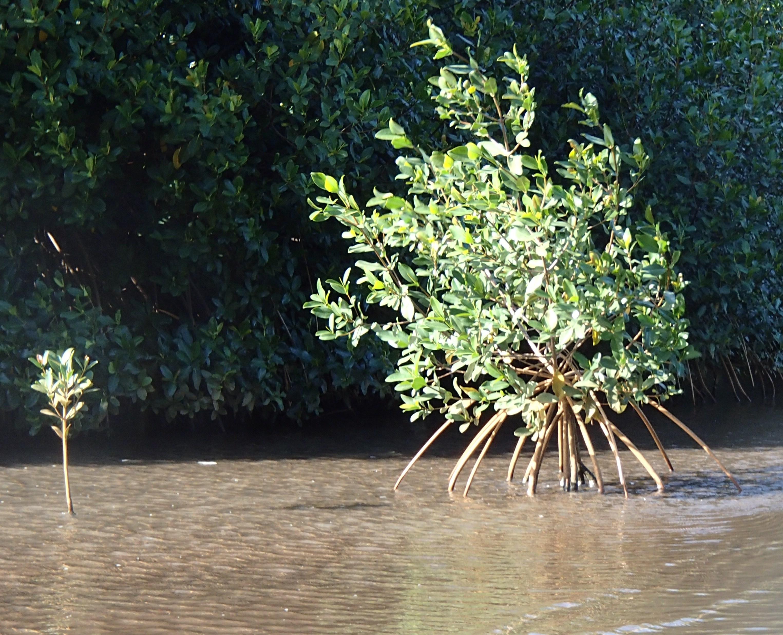 Baby mangrove grow up fast