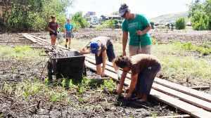 Kawaikini Kumu and students pulling up new mangrove